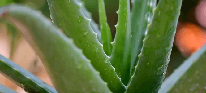 Aloe vera in combinatie met arganolie